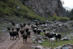 Almabtrieb in Kirgistan 2