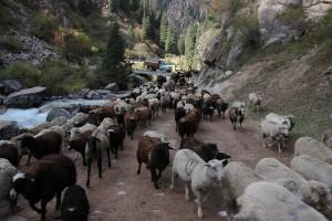 Almabtrieb in Kirgistan